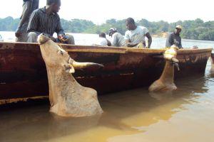 Les bœufs camerounais champions du monde de natation